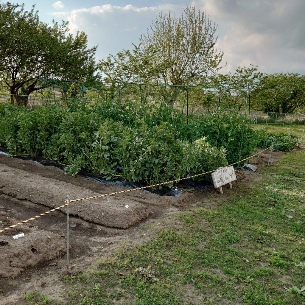 この畑には、いくつもの野菜達がたわわに実っている。この日は、空豆、玉ねぎ、スナップインゲン、ジャガイモたちが収穫を今か今かと待っていた。