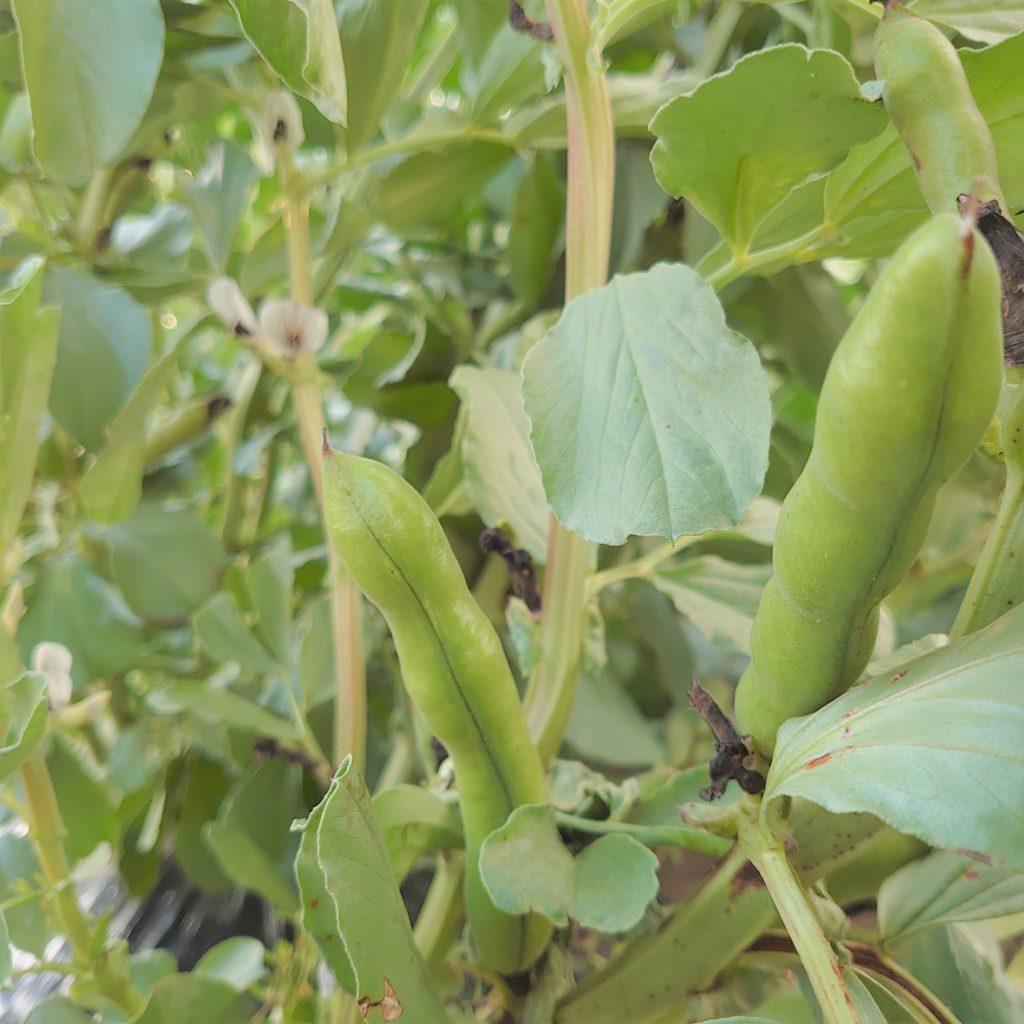 空豆が、文字通り空に向かってにょっきりと顔を出す。スーパーで売っている袋売りの野菜とは違い、ここでは野菜たちの普段の暮らしが見える。