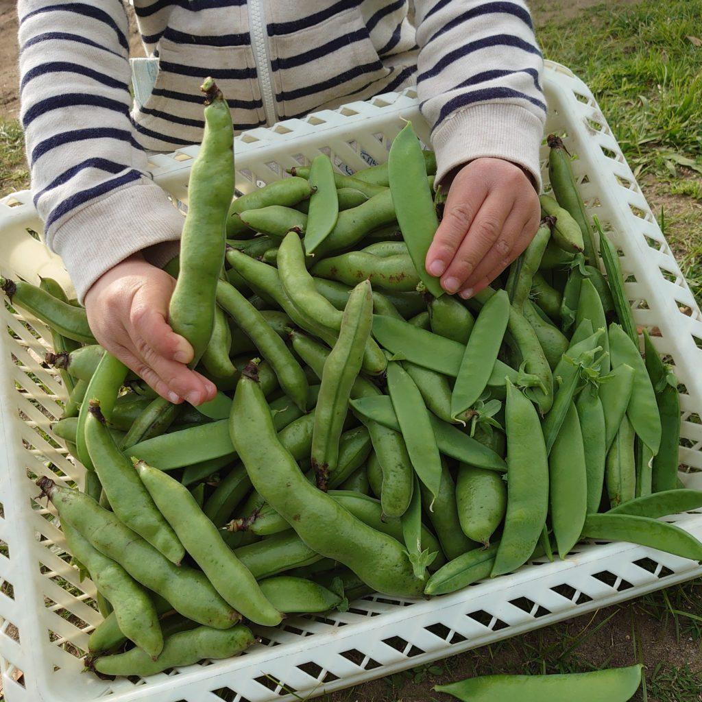 今日の収穫物は、空豆と絹さや。大収穫!!