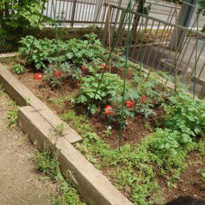 クラブには、あちこちにいろいろな野菜が植えられています。少しずつ育つ野菜や集まる虫たちも楽しみのひとつ。